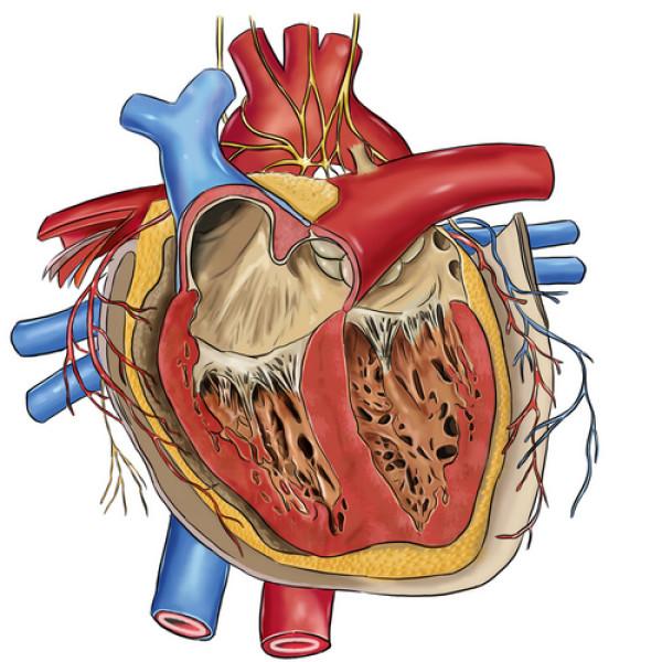 просмотров: 1701. комментариев.  0. Порок сердца - заболевание сердца, обусловленное обезображиванием (деформацией)...