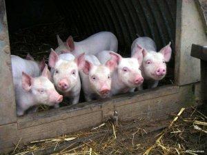Беларусь запретила ввоз продукции свиноводства из Ростовской области