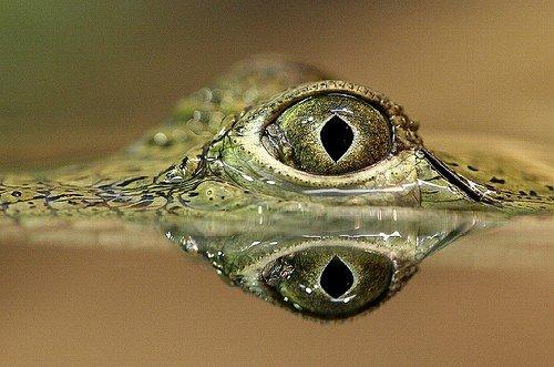 120-килограммовая женщина упала на крокодила