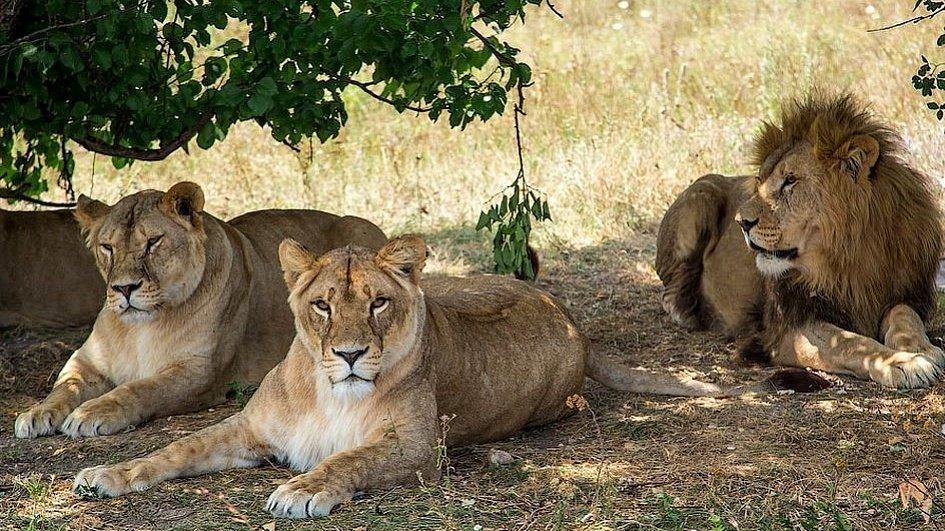 Вкрымском сафари-парке лев залез вмашину стуристами, чтобы пообниматься
