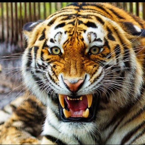 В российском регионе тигры начали убивать собак и коров